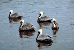 Brown Pelicans Photo