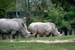 White Rhinos Photo