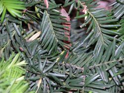 Yew Tree Photo