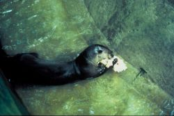Brazilian Giant Otter Photo