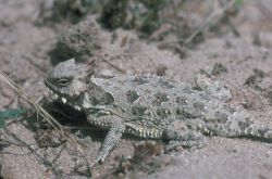 Coast Horned Lizard Photo