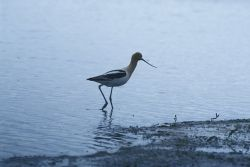 American Avocet Photo