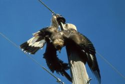 Electrocuted Golden Eagle Photo