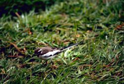 African Pied Wagtail Photo