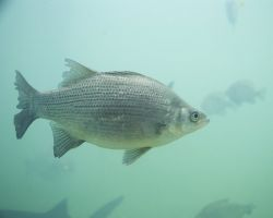 White Bass Photo