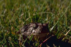 Woodhouse Toad Photo