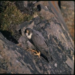 Arctic Peregrine Falcon Photo