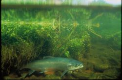 WO4846 Atlantic Salmon Photo