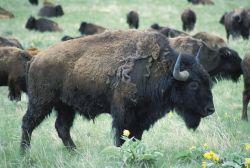 Bison Bull Photo