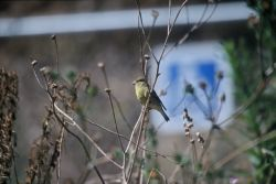 Lesser Goldfinch Photo