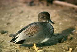 Gadwall Photo