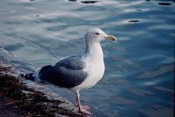 Western Gull Photo
