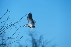 WO831 Black Crowned Night Heron Photo