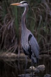 WO701 Great Blue Heron Photo