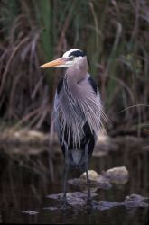 WO3168 Great Blue Heron Photo
