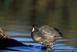WO2623 Coot Photo