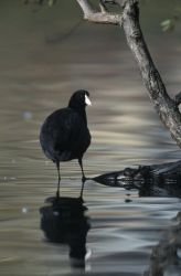 WO2624 Coot Photo