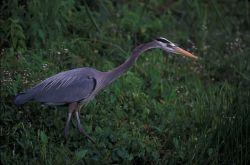 WO3956 Great Blue Heron Photo