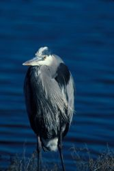 WO3952 Great Blue Heron Photo