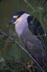 WO3279 Black Crowned Night Heron Photo