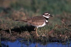 WO4002 Killdeer Photo