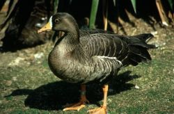 Pacific White Front Goose Photo