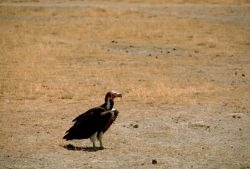 Nubian Vulture Photo