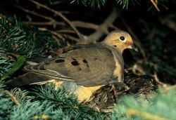 Mourning Dove and Young Photo