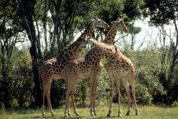 Masai giraffe Photo