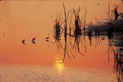 Sandpipers in the Sunset Photo