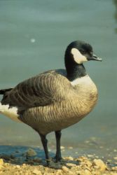 Aleutian Canada Goose Photo
