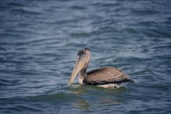 Brown Pelican Photo
