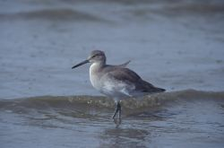 WO4223 Willet Photo