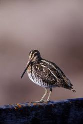 WO4396 Wilson's Snipe Photo