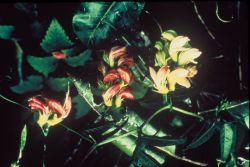 Hawaiian wild broad bean (vetch) Photo