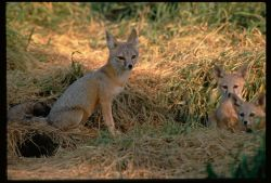 San Joaquin Kit Fox Photo