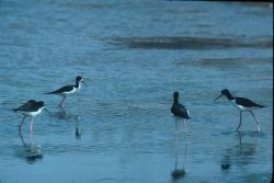 Hawaiian Stilts Photo