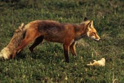 Red Fox with Prey Photo