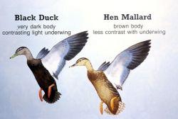 Black Duck and Hen Mallard Characteristics Comparison Diagram Photo