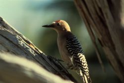 Gila Woodpecker Photo