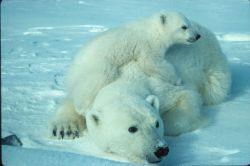 WO2000 Polar bear with cub Photo