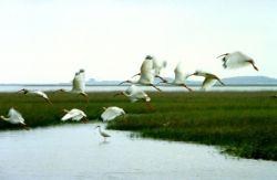 White Ibis Photo