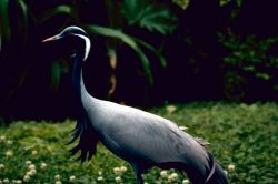 Demoiselle Crane Photo