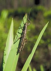 Walking Stick Photo
