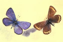 Lotis Blue Butterfly Photo