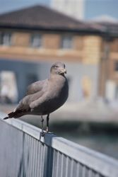Heerman's Gull Photo