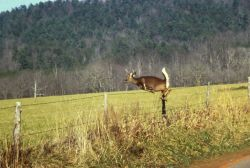 White-tailed Deer in Flight Photo