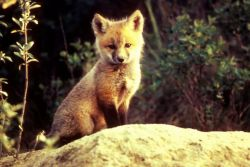 Red Fox Photo