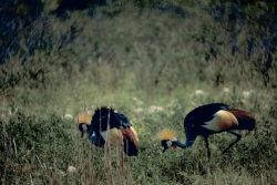 Crowned Cranes Photo
