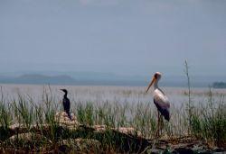 Stork and Cormorant Photo
